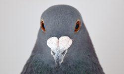 La naturaleza de la paloma mensajera y su comportamiento