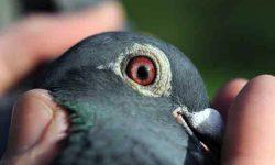 Teorías y constataciones sobre palomas mensajeras