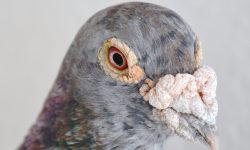 La eficacia del vuelo de la paloma mensajera